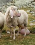 Die eierlegende Wollmilchsau. Georg Mittenecker. wikipedia.org